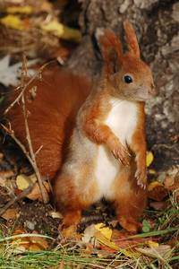 An Eurasian red squirrel taken in Germany
