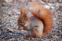 In winter the Red Squirrel shows its screamingly long ear-tufts
