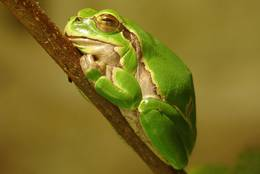 The mini European Tree Frog knows to make itself visibly at home on the twig.