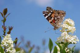 The Painted Lady enjoys its meal.