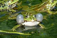 Water Frogs (Rana sp.)