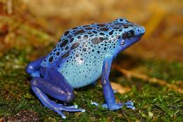Blue Poison Dart Frog - the name fits better for this frog as for each other blue animal.
