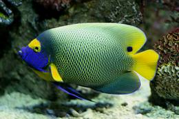 Marine Angelfish: gaudy – but in a noble kind