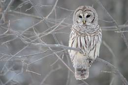 Barred Owl in Ontario, Canada
