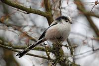 The gentle Long-tailed Tit makes a beautiful contrast to the meager, firm branches.