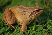 Common Frog in Close-up