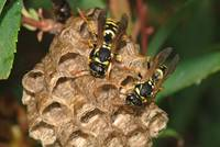 European Paper Wasps (Polistes dominula))