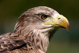 A young White-tailed Eagle already is an impressive feature, too.