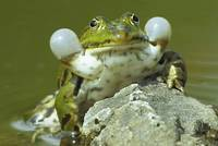 With its calls the Water Frog attracts females.