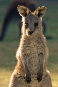 Baby Macropod living in Australia