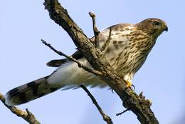 Young Northern Goshawk on a branch
