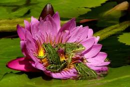 This blossom of the Water Lily seems to be very robust, that it bears the Frogs without problems.