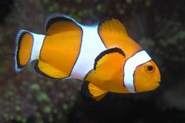 Clownfish – also called  Harlequinfish – in close-up