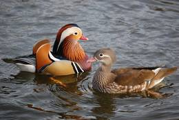 The Mandarin Duck Couple seems to be totally focussed on itself.