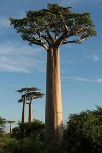 This Baobab (Adansonia grandidieri) has a remarkable largeness