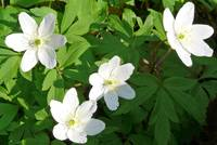 The Anemone nemorosa decorates the forest soil and the roadside.