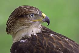 It is really astonishing how far a bird of prey can turn its head.