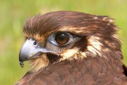 Brown Falcon with its head turned backwards