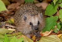 As a young animal the Hedgehog has to gain extremely much weight in autumn