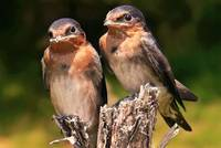 Young Welcome Swallows