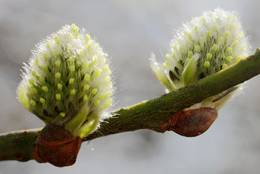 Catkins: female flowers