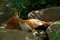 A Dhole sleeping calm and relaxed