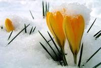 The deep yellow and green of the Crocuses is still amplified by the snow.
