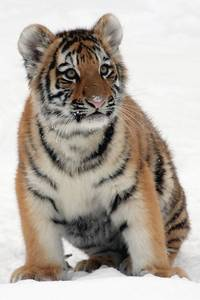 young animals: tiger
