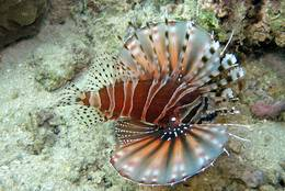 Zebra Turkeyfish in the sea in front of Sulawesi