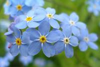 The azur blossoms make the Forget-me-not non-reversible