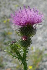 Thistle in summer