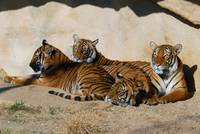 Tiger Group in the sunshine