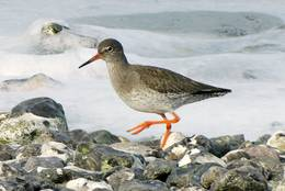 Common Redshank at the Water