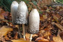 3 Shaggy Ink Caps in autumn foliage