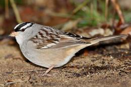White-crowned Sparrow on foraging