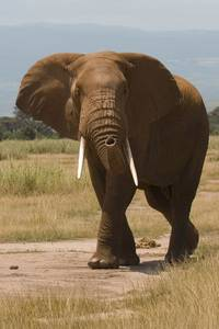 This African Bush Elephant perfectly demonstrates the topic strength
