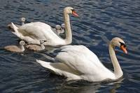 Mute Swans – brace with chicks.