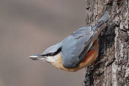 The Eurasian Nuthatch attracts attention by the distinctive black stripe, too.
