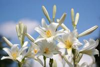 The blue sky is the perfect backgrund for the Lilium candidum