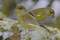 2 European Greenfinches in Winterer