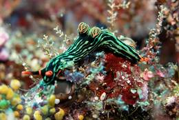 Nembrotha Kubaryana in the sea in front of Sulawesi.