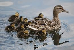 Mother-duck abundantly blessed with children