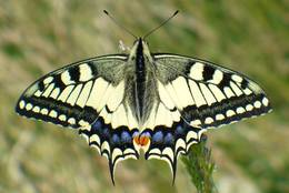 Moreover the Old World Swallowtail is the biggest local butterfly in Germany.