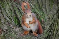 What does the Red Squirrel really think?