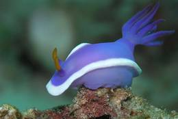 Hypselodoris bullockii with Sipadan in front of Borneo