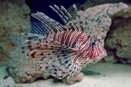 The Lionfish impresses by its luxurious and yet harmonious shapes
