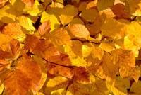 Beech Leaves in changeover from golden to red tones