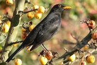 Male Common Blackbird in an autumnal tree.
