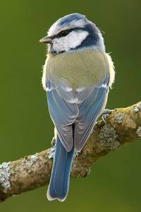 Blue tit living in Europe