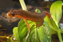 Smooth Newt (Triturus vulgaris)